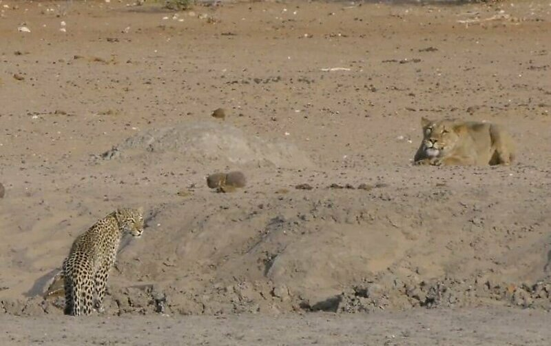 Неудачная охота львицы на самку леопарда попала на видео