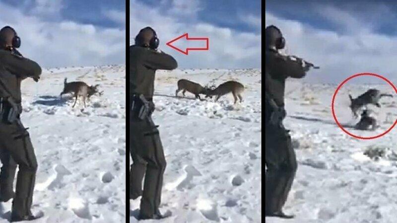 Эксцентричный способ разнять сцепившихся рогами оленей