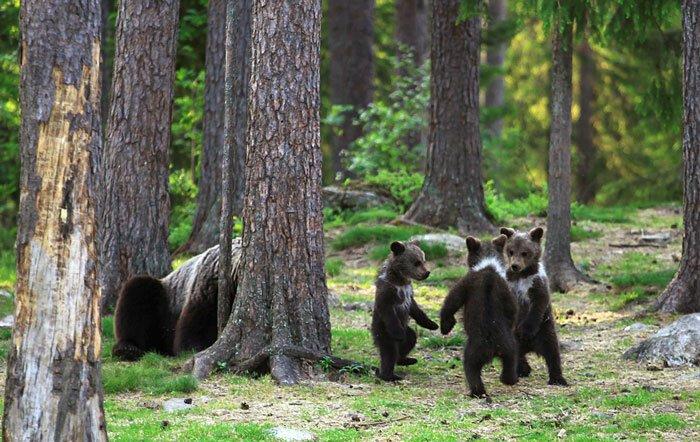Учитель из Финляндии снял танцующих медведей