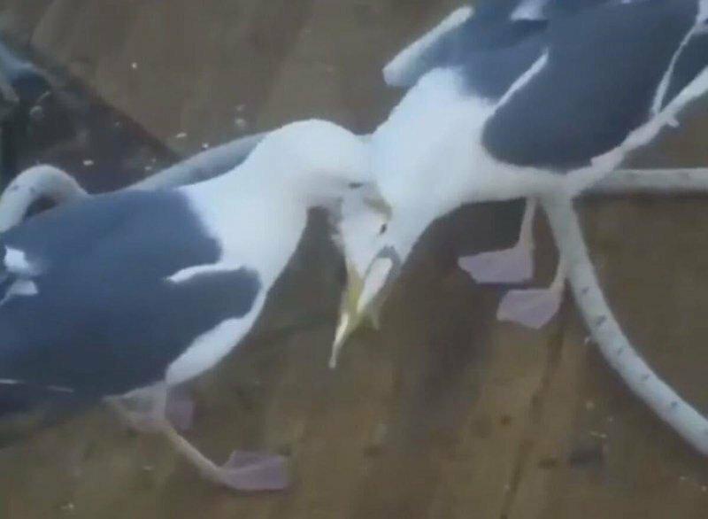 Чайка заставила конкурента отдать рыбу