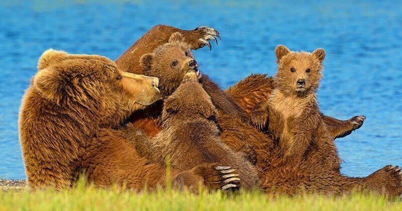 Медведица и трое малышей отдыхают у водоёма в национальном парке