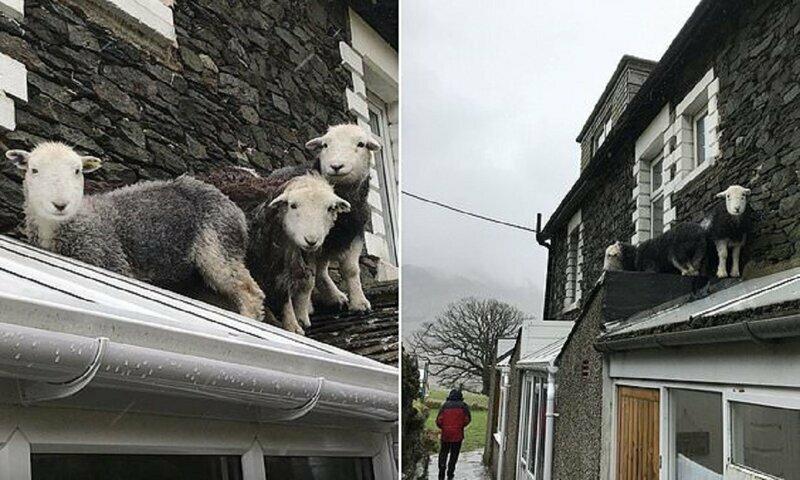 Пропавшие овцы спрятались на самом видном месте