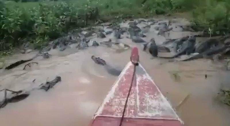 Бразильские рыбаки потревожили покой десятков крокодилов