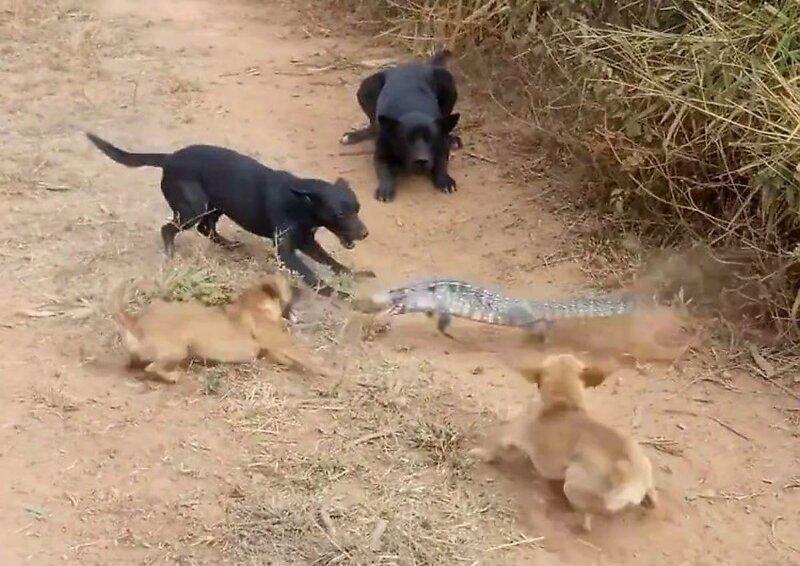 Окружен, но не сломлен: ящер дал отпор бродячим собакам