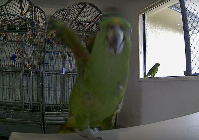 Недовольный попугай избавился от видеослежки