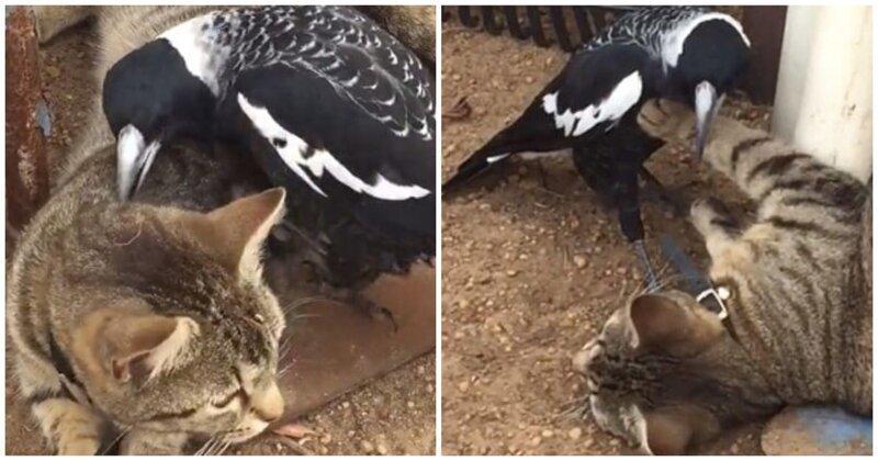 Кошка стойко переносит нападки назойливой сороки