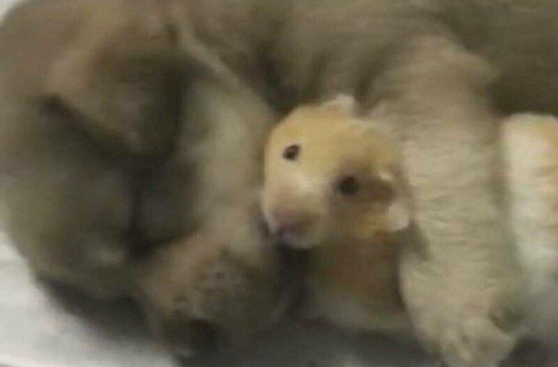 Хомяк угодил в объятия щенка