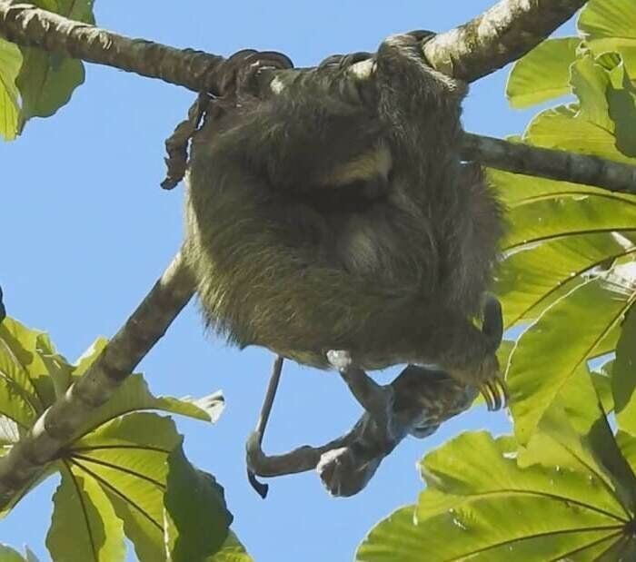 Удивительный момент: мама-ленивец родила малыша на дереве