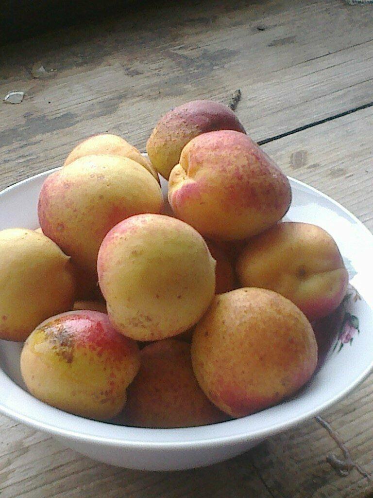 Mожно ли выращивать абрикосы в средней полосе России и даже Сибири?