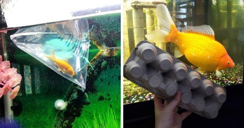 Золотая рыбка превратилась в громадину-монстра