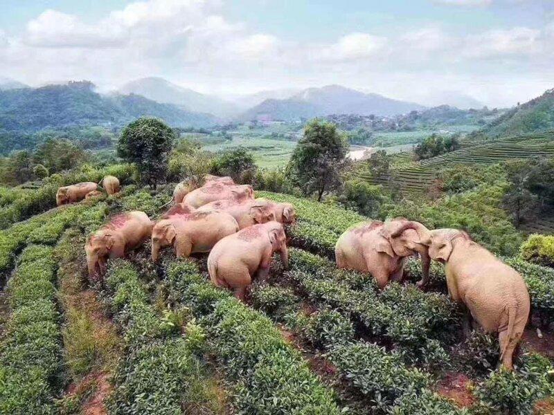В Китае слоны забрели в деревню в поисках еды, но напились кукурузного вина и уснули в саду