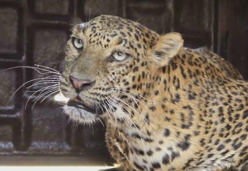 В Индии спасли упавшего в колодец леопарда