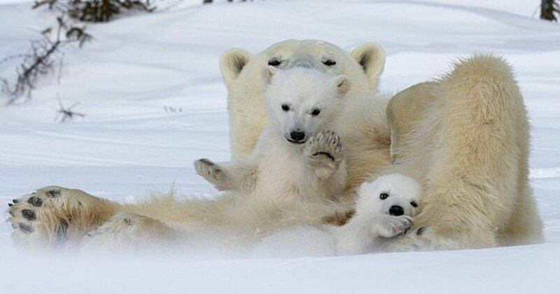Привет, медведи: потрясающие фотографии белой медведицы и ее детенышей