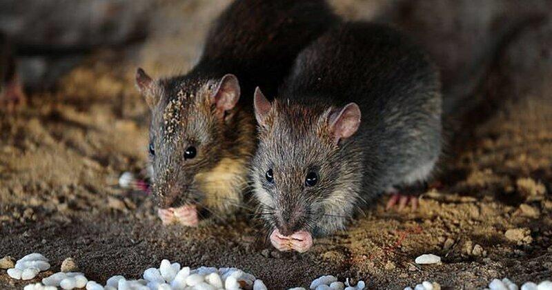 В Китае зафиксирована смерть человека от хантавируса, который распространяют крысы