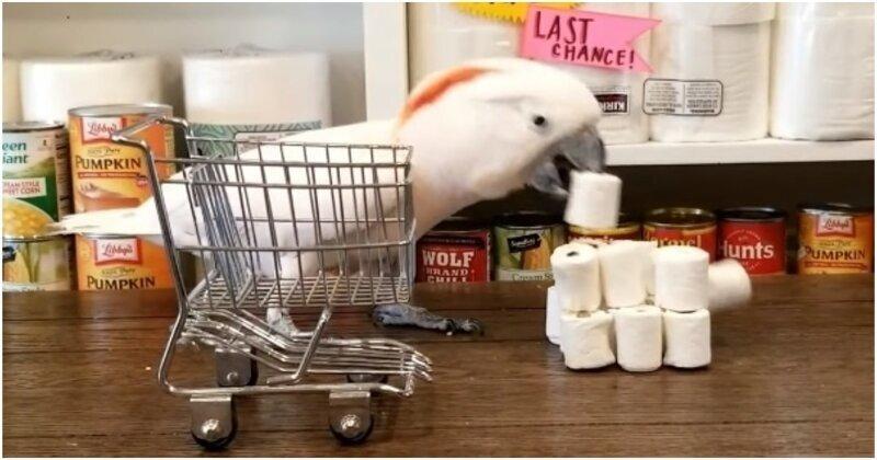 Хозяйственный какаду запасается туалетной бумагой