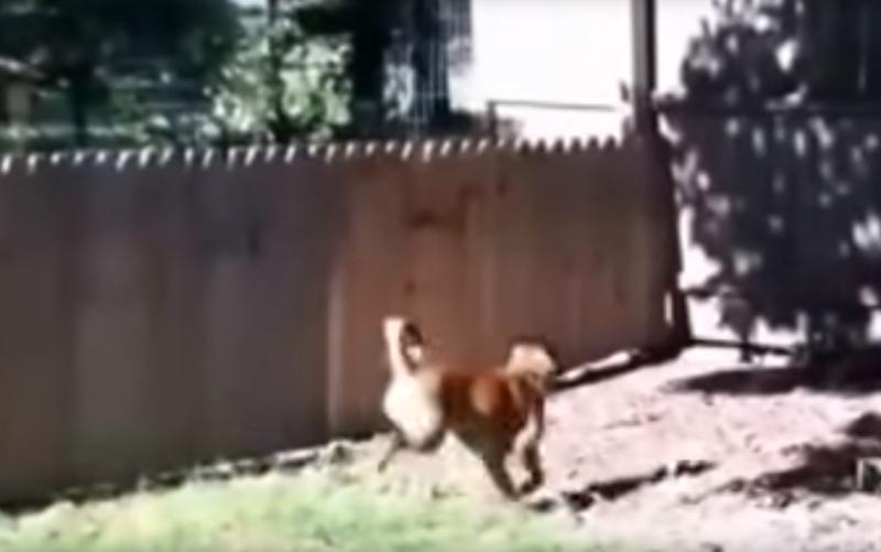 Мужчина сильно ошибался, когда решил, что забор удержит его собаку