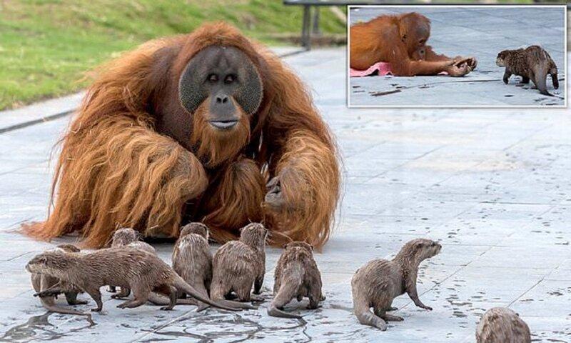 Семья орангутанов нашла друзей не по размеру