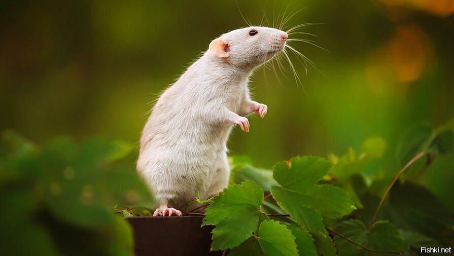 Просто крыса