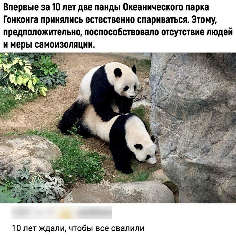 Панды-интроверты