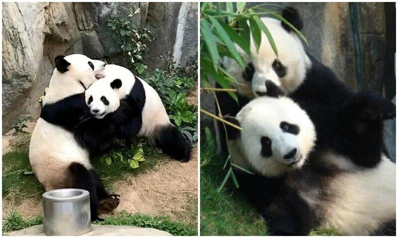 Благодаря карантину панды из Гонконга спарились впервые за 10 лет жизни вместе