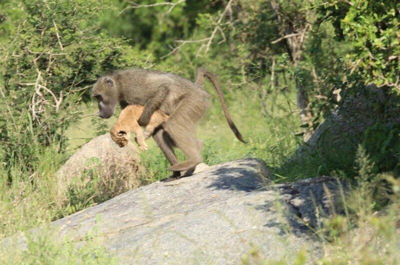 Почему бабуины воруют львят?