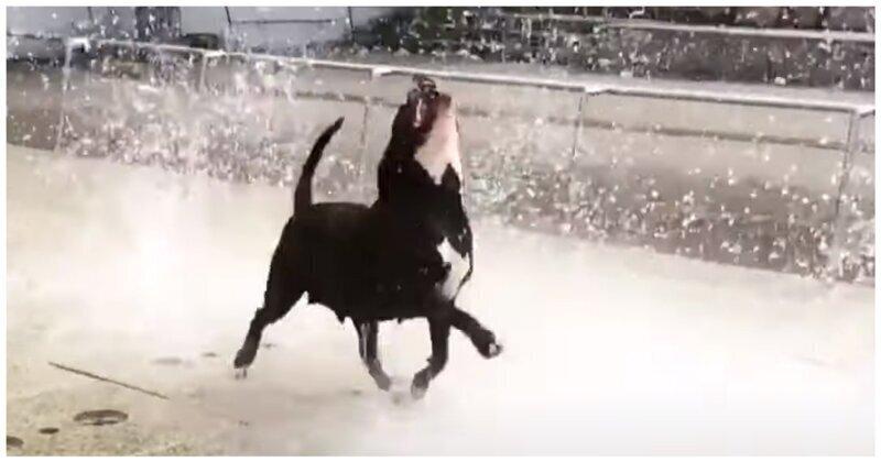 Довольная собака ловит струи воды фонтана