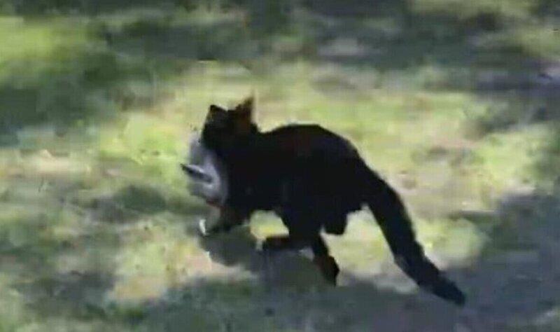 Домашняя кошка попыталась утащить поймавшую белку змею