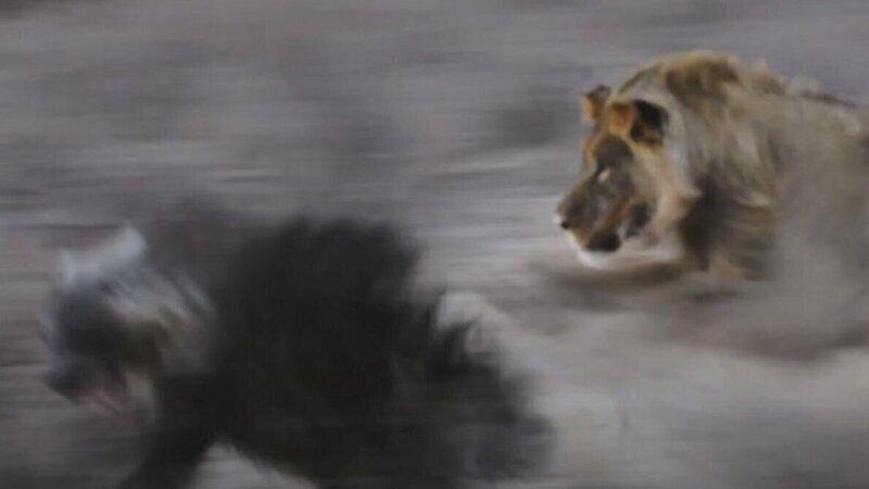 Идущая к водопою гиена не заметила притаившихся львов