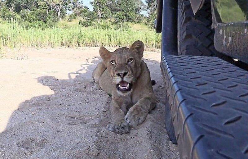 Львы поспешили укрыться от лучей палящего солнца в тени автомобиля