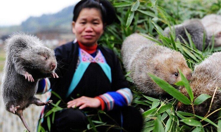 Как китайцы разводят бамбуковых крыс
