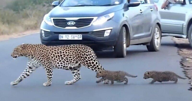 Как самка леопарда переводила детенышей через дорогу
