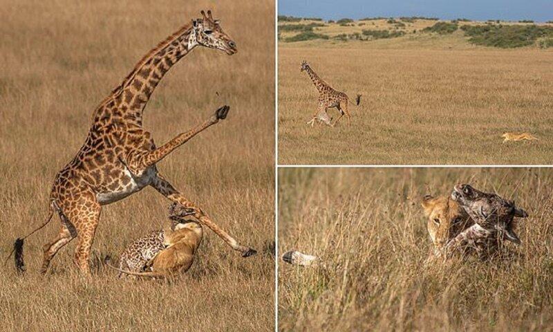 Жирафиха против львицы: смертельная схватка