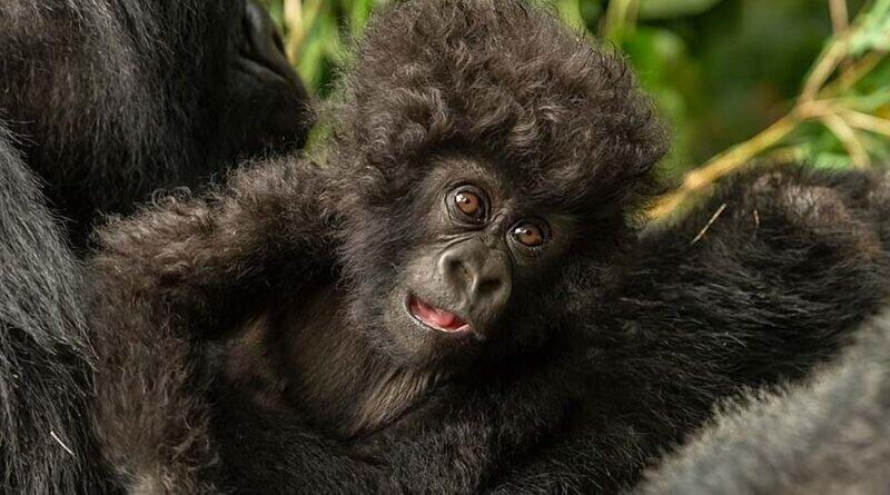 Малыш гориллы с необычайной прической