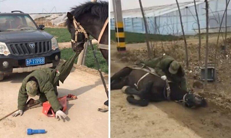 Лошадь помогла человеку, который упал с инвалидной коляски
