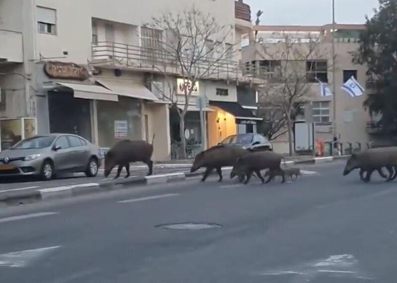 Кабаны прогулялись по улицам опустевшего из-за карантина города