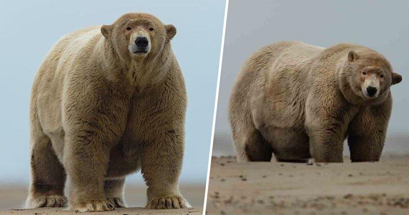 """Раздобревший полярный медведь получил прозвище """"Толстяк Альберт"""""""