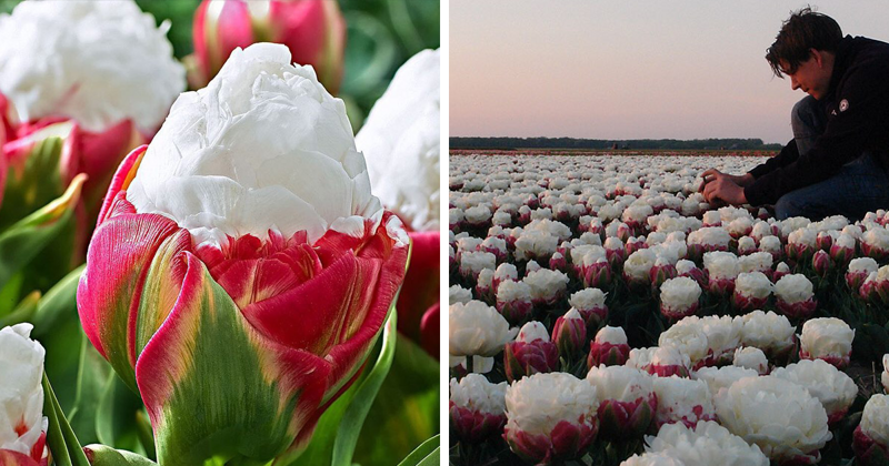 Тюльпаны-мороженое: красивые, словно игрушки