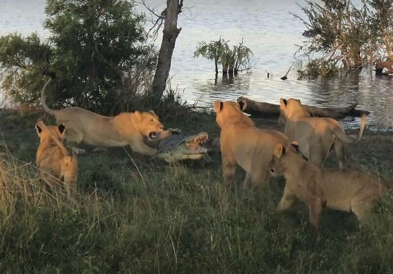 Львы прогнали заглянувшего к ним на трапезу крокодила