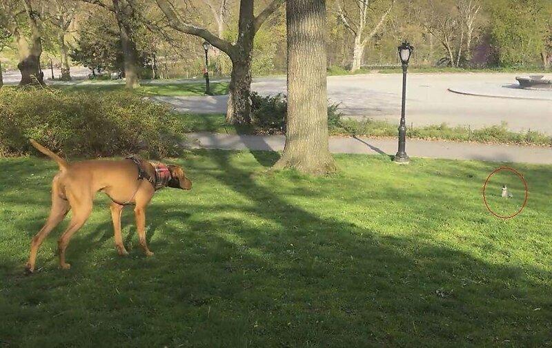 Поймай меня, если сможешь:  Белка поиздевалась над преследующим её псом