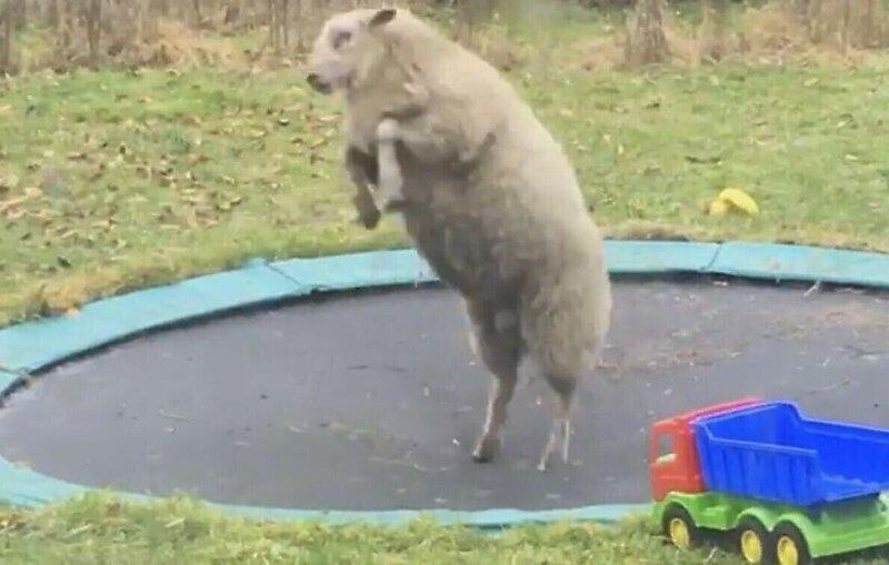 Овца повеселилась на батуте хозяина