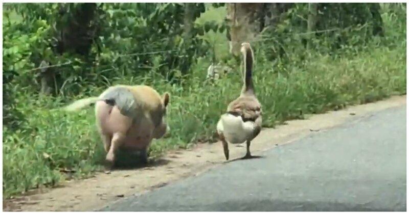В Пуэрто-Рико засняли неспешную совместную прогулку свиньи и гуся