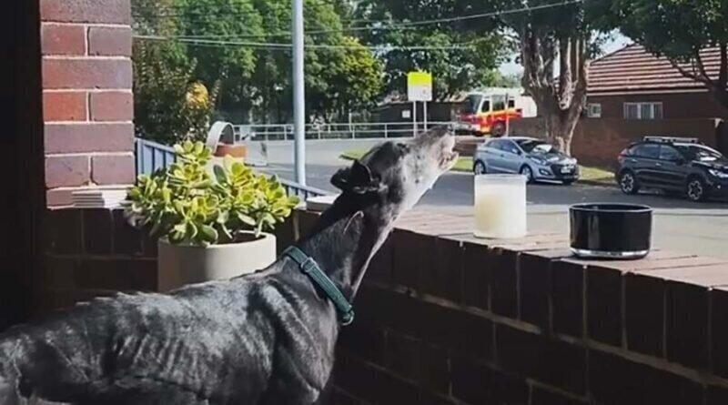 Собака имитирует сирену пожарной машины, когда та проезжает мимо её дома