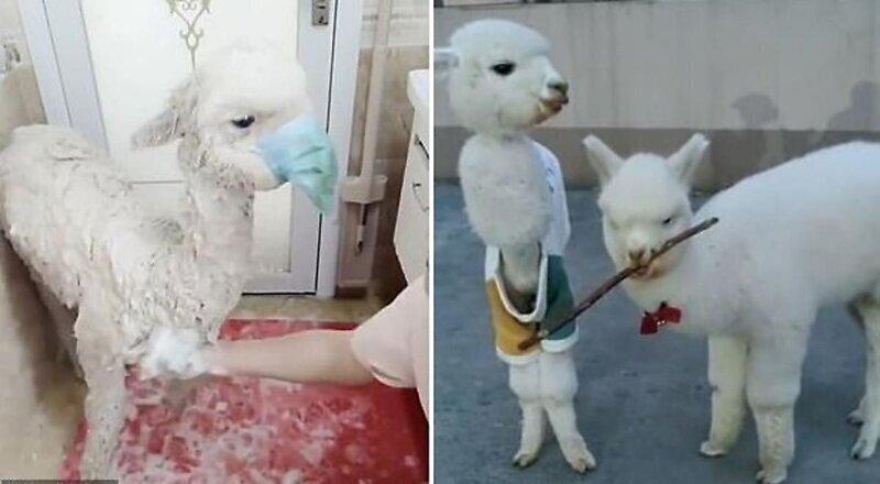 Хозяйка альпаки надела маску на своего плюющегося питомца