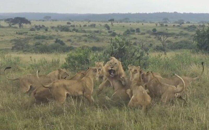 Львицы напали на зашедшего на их территорию льва