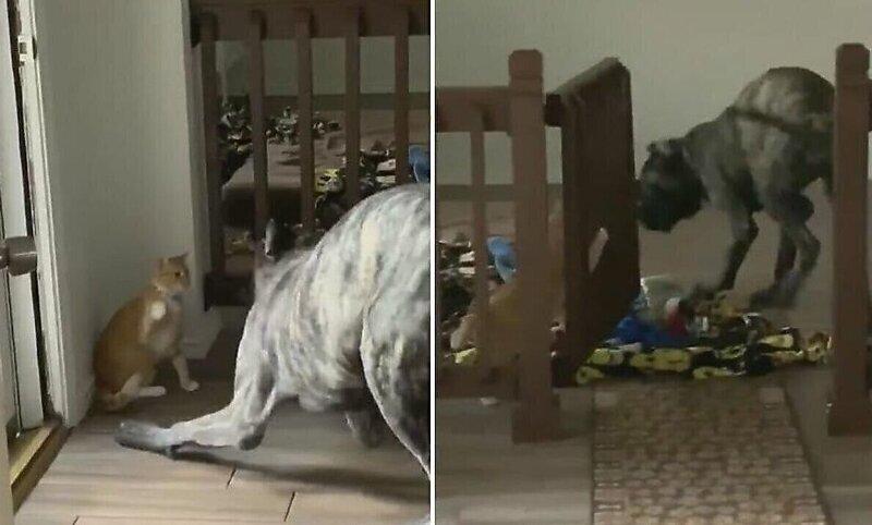 Кот перехитрил погнавшегося за ним пса и закрыл его