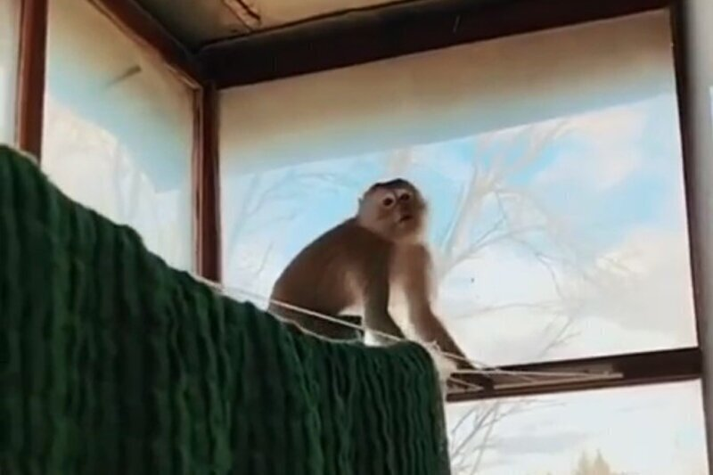 Контрабандная обезьяна сбежала от таможенников и устроила дебош на балконе