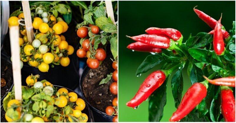 Огород на подоконнике:  7 вкусных и полезных растений для квартиры
