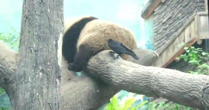 Бесстрашный вороненок отщипнул  мех из зада панды для своего гнезда