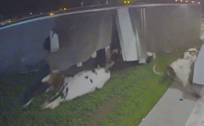 В США перевернулся грузовик с коровами