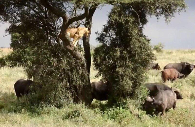 Львице пришлось залезть на дерево, чтобы спрятаться от буйволов